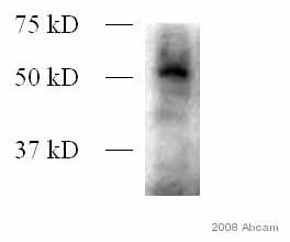 Western blot - Dnmt3L antibody (ab3493)