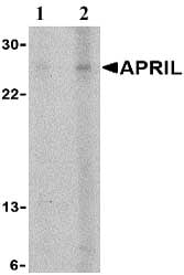 Western blot - APRIL antibody (ab3680)