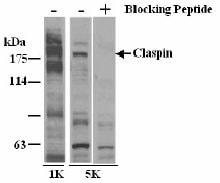 Western blot - Claspin antibody (ab3721)