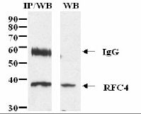 Immunoprecipitation - RFC4 antibody (ab3854)