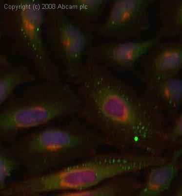 Immunocytochemistry/ Immunofluorescence - HspBP1 antibody (ab3858)