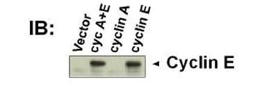 Western blot - Anti-Cyclin E1 [HE12] antibody (ab3927)