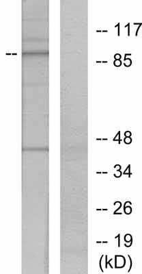 Western blot - STAT5a (phospho Y694) antibody (ab30648)