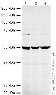 Western blot - eRF1 antibody (ab30928)