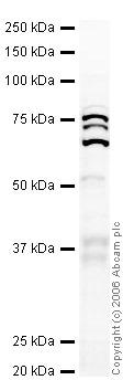 Western blot - hnRNP R antibody (ab30930)