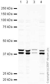 Western blot - SUGT1 antibody (ab30931)