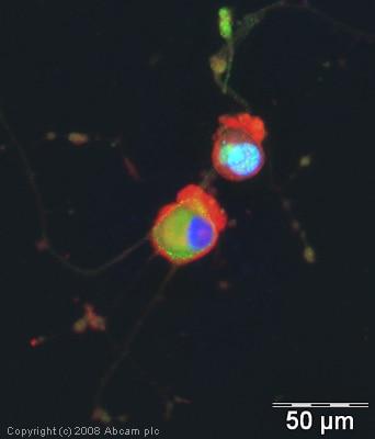 Immunocytochemistry/ Immunofluorescence - FOXO3A (phospho S253) antibody (ab31109)