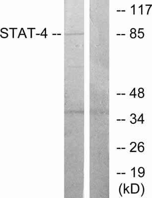 Western blot - STAT4 antibody (ab31376)