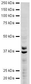 Western blot - hnRNP A2B1 antibody (ab31645)
