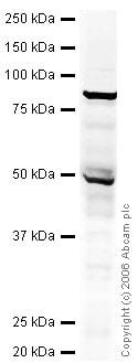 Western blot - DCAMLK1 antibody (ab31704)