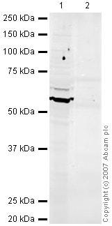 Western blot - Occludin antibody (ab31721)