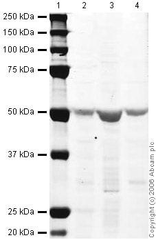 Western blot - Oct6 antibody (ab31766)