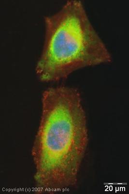 Immunocytochemistry/ Immunofluorescence - eRF1 antibody (ab31799)