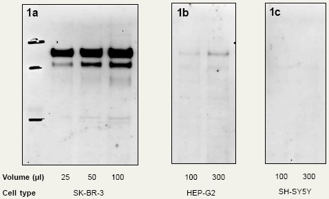 Immunoprecipitation - Anti-ErbB2 Affibody® Molecule (Agarose) (ab31892)