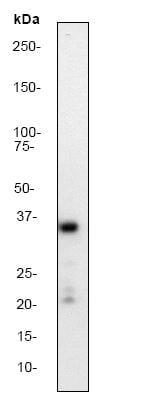 Western blot - Anti-Synaptophysin antibody [YE269] (ab32127)
