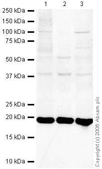 Western blot - UBE2I / UBC9 antibody (ab33044)