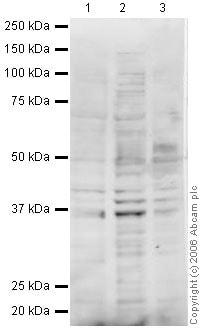 Western blot - MSY2/YBOX2 antibody (ab33164)