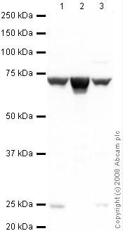Western blot - Tbx2 antibody (ab33298)