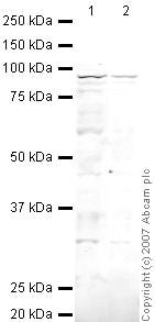 Western blot - Anti-RALBP1 antibody (ab33446)