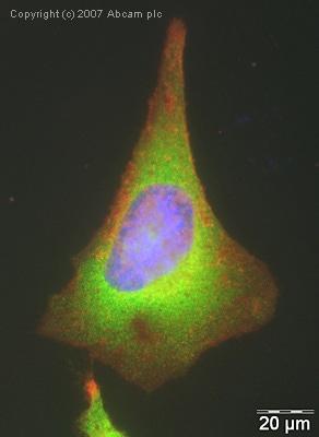 Immunocytochemistry/ Immunofluorescence - EEF2 antibody (ab33523)