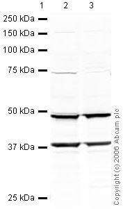 Western blot - EBP1 antibody (ab33613)