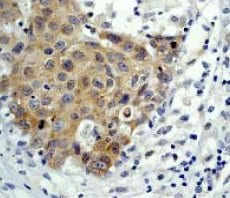 Immunohistochemistry (Formalin/PFA-fixed paraffin-embedded sections) - Anti-eIF4E antibody [Y448] (ab33766)