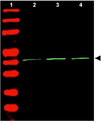 Western blot - beta Actin antibody (ab34731)