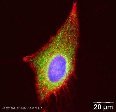 Immunocytochemistry/ Immunofluorescence - WNK1 antibody (ab35069)