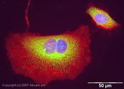 Immunocytochemistry/ Immunofluorescence - EBP1 antibody (ab35424)