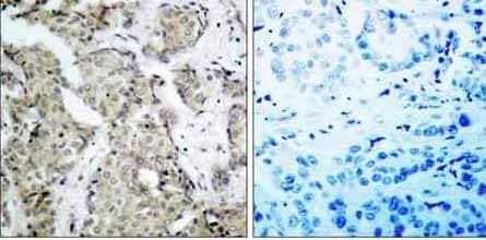 Immunohistochemistry (Paraffin-embedded sections) - MKK6 (phospho S207) antibody (ab36722)