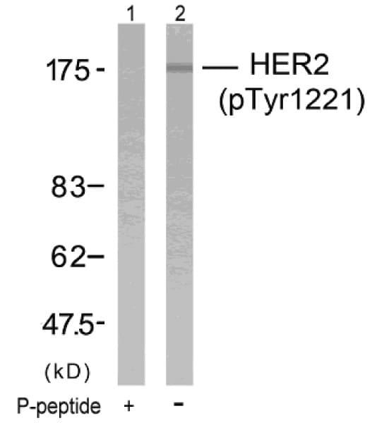 Western blot - ErbB 2 (phospho Y1222) antibody (ab36726)