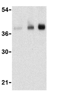 Western blot - CTRP5 antibody (ab36893)
