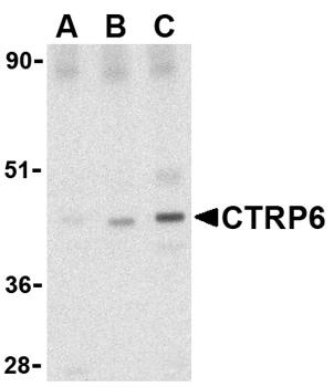 Western blot - CTRP6 antibody (ab36900)