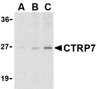 Western blot - CTRP7 antibody (ab36901)