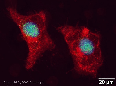Immunocytochemistry/ Immunofluorescence - UBCH6/UBE2E1 antibody (ab36980)