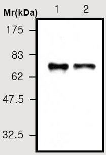 Western blot - C3 antibody [10A1] (ab36989)