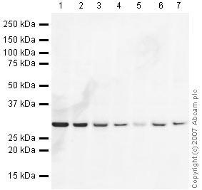 Western blot - eEF1B2 antibody (ab37725)