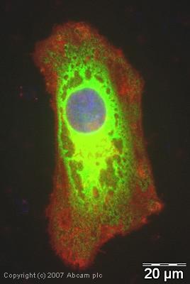 Immunocytochemistry/ Immunofluorescence - eEF1B2 antibody (ab37957)