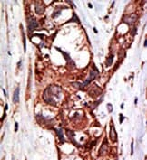 Immunohistochemistry (Formalin/PFA-fixed paraffin-embedded sections) - Aos1 + Uba2 antibody (ab38434)