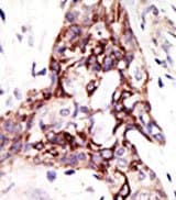 Immunohistochemistry (Formalin/PFA-fixed paraffin-embedded sections) - ARL3 antibody (ab38860)