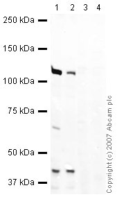 Western blot - HEF1 antibody (ab37161)
