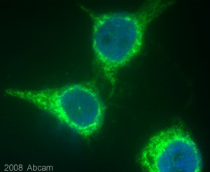 Immunocytochemistry/ Immunofluorescence - ADAM17 antibody - Propeptide domain (ab39161)