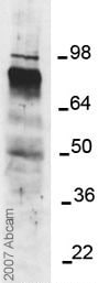 Western blot - ADAM17 antibody - Activation site (ab39163)