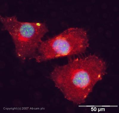 Immunocytochemistry/ Immunofluorescence - SAP155 antibody (ab39578)