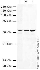 Western blot - GRPR antibody (ab39883)