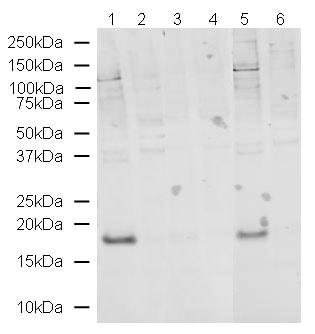 Western blot - Histone H3 (phospho T32) antibody (ab4076)