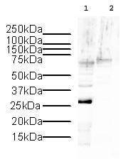 Western blot - Histone H1.2 antibody - ChIP Grade (ab4086)