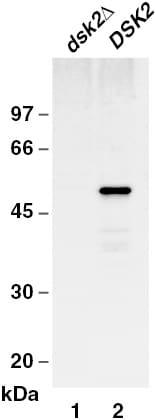 Western blot - Dsk2 antibody (ab4119)