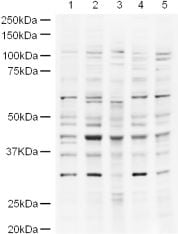 Western blot - UBP43 antibody (ab4188)