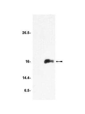 Western blot - Anti-Histone H3 (acetyl K9) antibody - ChIP Grade (ab4441)